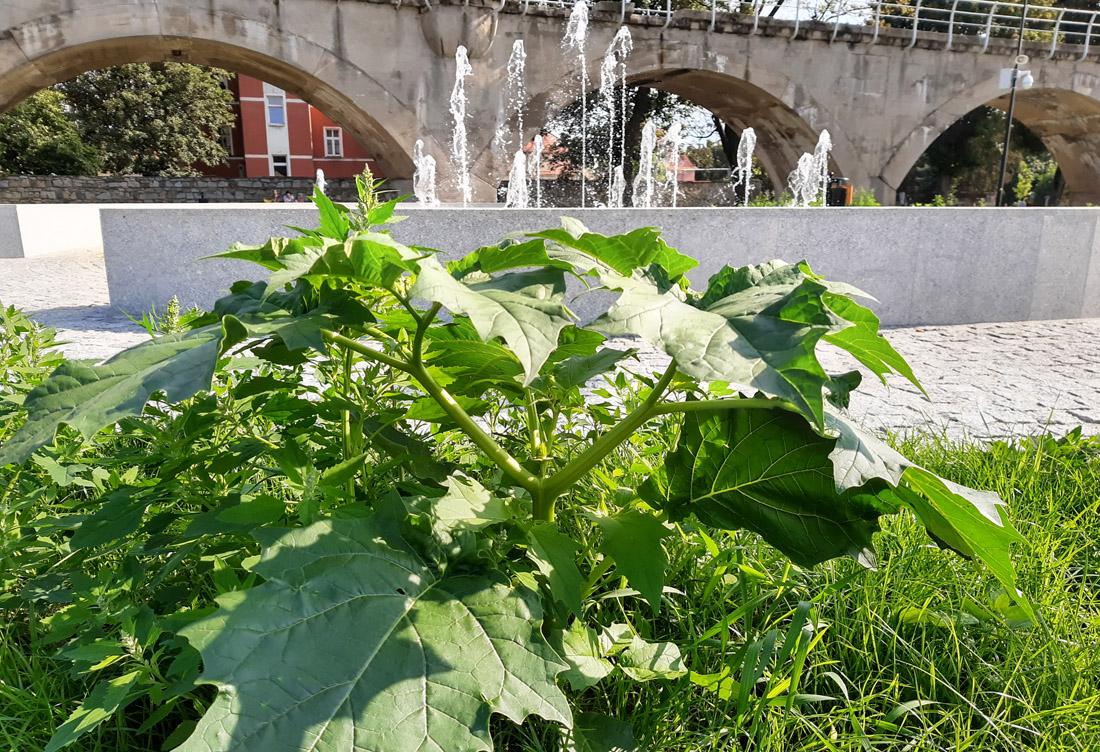 Uwaga – silnie trująca roślina w Parku Miejskim [FOTO]